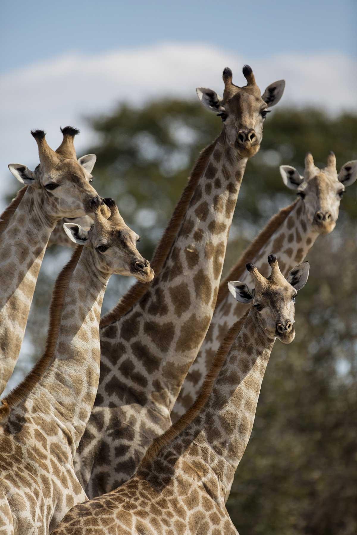 Giraffe family gamedrive Chase Africa Safaris