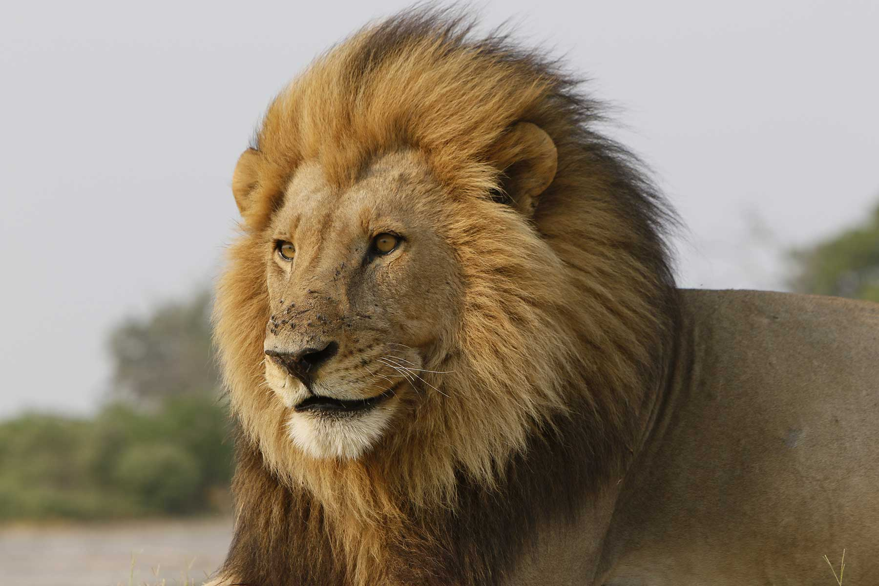Kalahari lion seen on game drive with Chase Africa Safaris