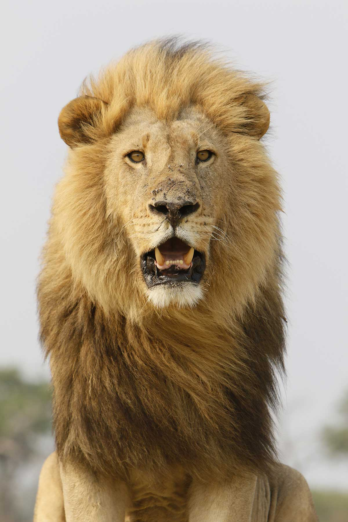Male lion seen on safari with Chase Africa Safaris