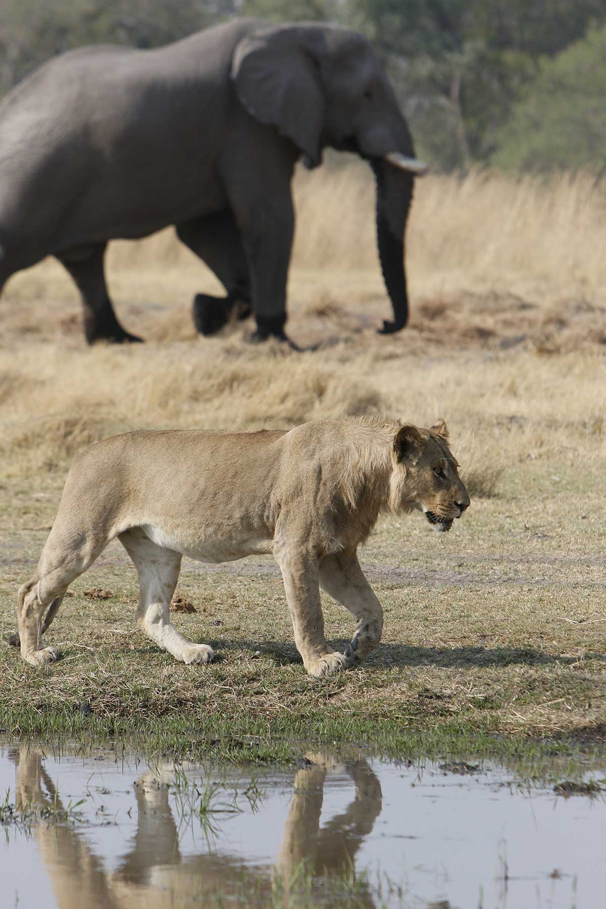 Lioness and elephant game drive with Chase Africa Safaris