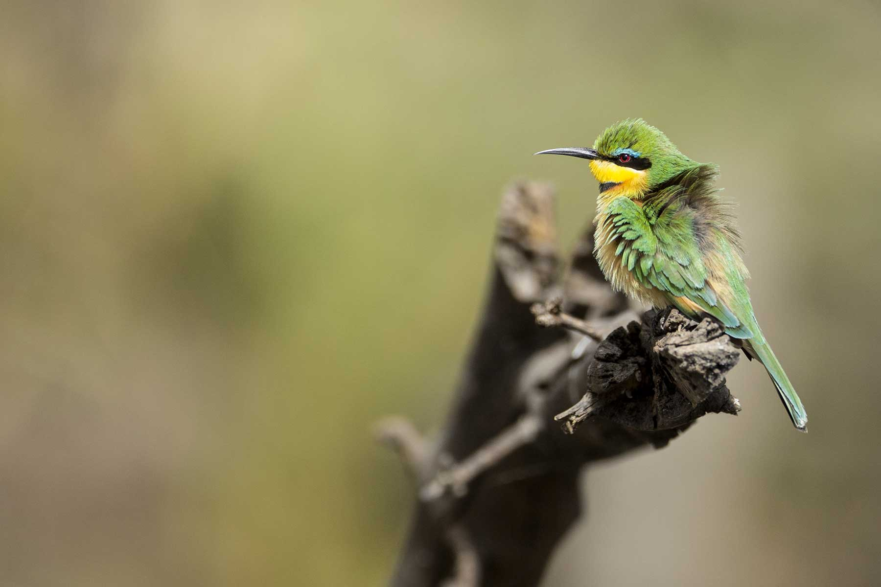 Bee-eater seen on game drive Chase Africa Safaris