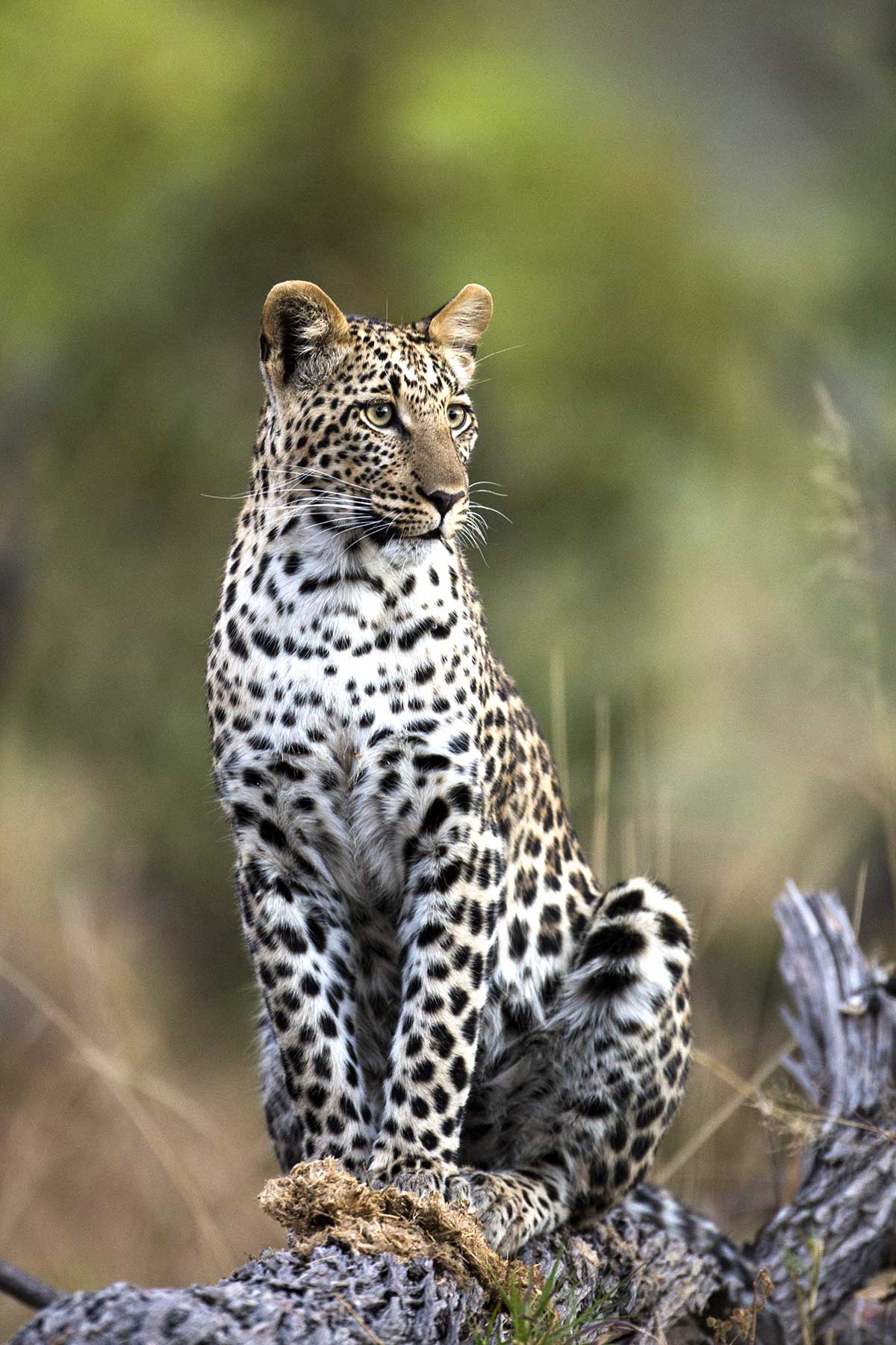 Leopard seen on gamedrive with Chase Africa Safaris