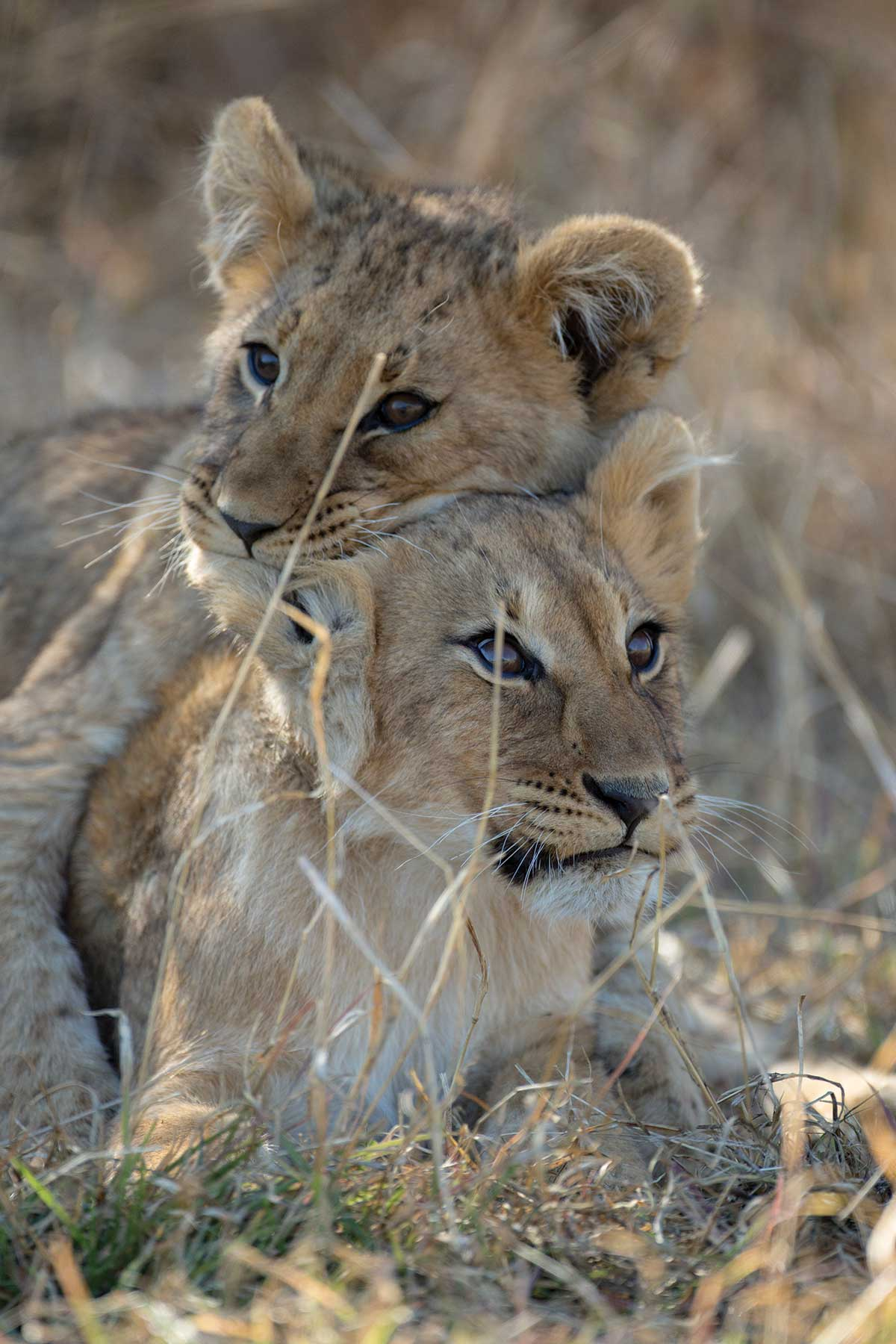 Lion cubs seen on game drive Chase Africa Safaris