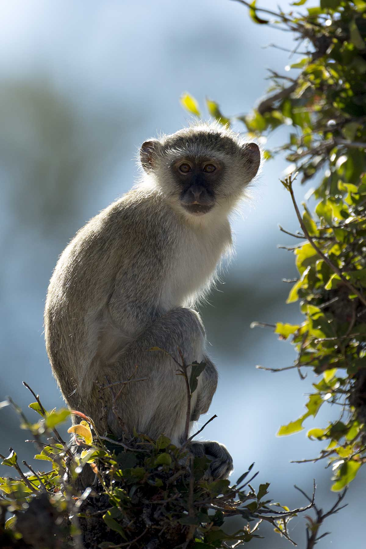 Vervet monkey game drive Chase Africa Safaris